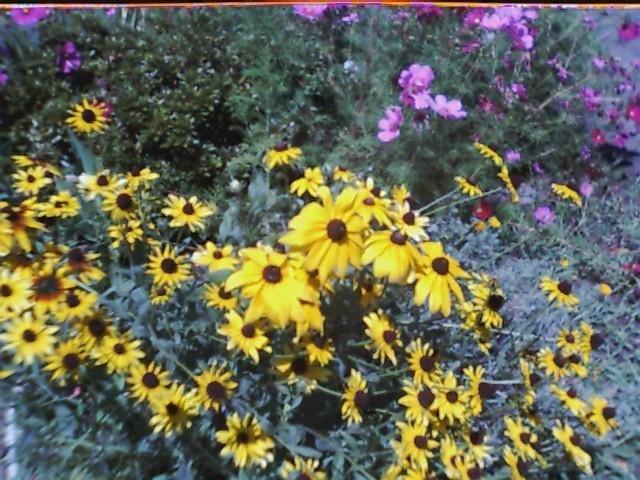 Black Eyed Susan Seeds-Butterflies & Bees!