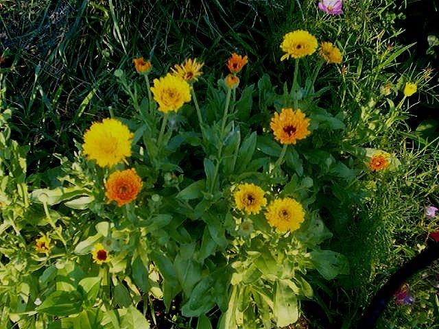 Calendula-Pot Marigold Seeds**EDIBLE**