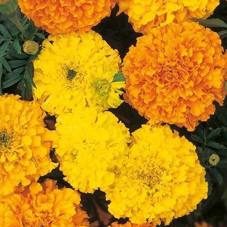 "African ""Cracker Jack"" Mix Marigold Seeds-No Fail! **Plant with Veggies**"