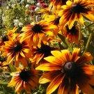 Gloriosa Daisy Seeds-Beautiful Cut Flower-Long Lasting!