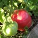 Heirloom Organic Rutgers Tomato Seeds-Great for Sauces!