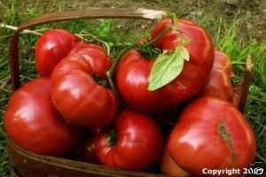 Heirloom Organic Black Krim Tomato Seeds-**Smokey Flavor**