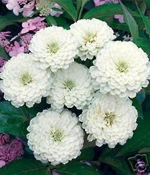 Zinnia **Polar Bear**  Seeds Excellent Cut Flower! **Limited
