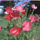 Mixed Double Shirley Poppy Seeds-Bright Pinks, White & Red