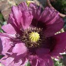 **Lavender** Poppy**Seeds-Rare Color**Beautiful** & EZ to Grow!