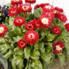 Dwarf English Daisy Seeds **CUTE & Compact***SOLD OUT