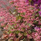 Coral Bells Seeds -Hummingbirds**LOVE** It! SOLD OUT
