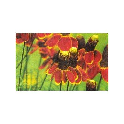 Prarie Coneflower Seeds-Loves Heat!