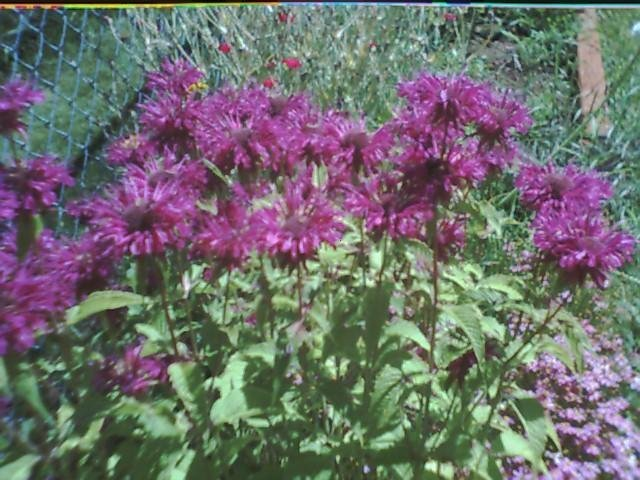 Purple Bee Balm Seeds-Long Vase Life & Scented!