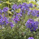 Purple & Pink Moss Verbena Seeds-Attracts Butterflies