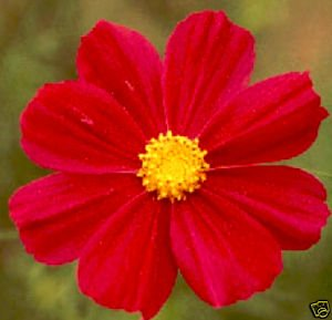 Cosmos *RED* Dazzler Seeds-Cut Flower, Pest Control!
