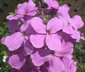Dames Rocket Seeds **Fragrant** Bees, Butterflies & Birds