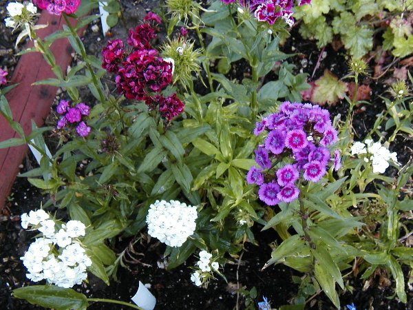 Sweet William Seeds-Tiny Cluster Flowers-Pots & Containers