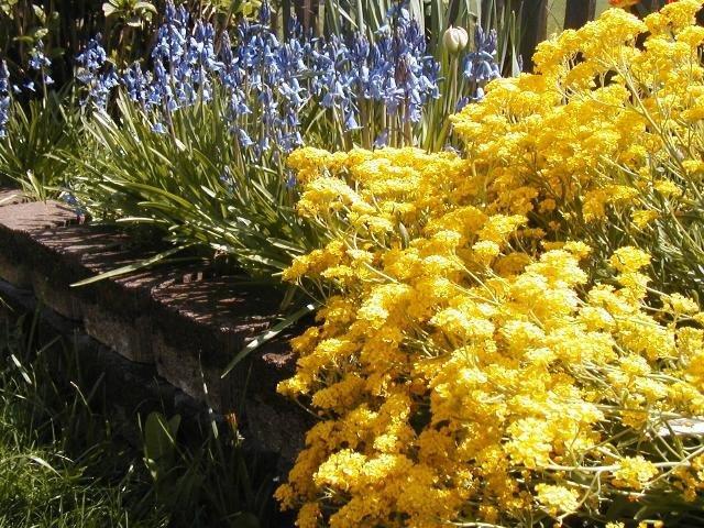 Basket of Gold-Alyssum Seeds
