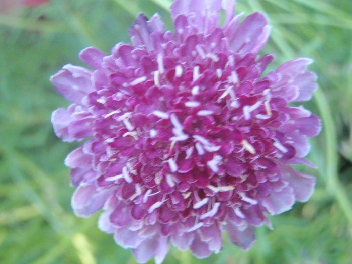 Purple Pincushion Flower Seeds-EZ to Grow-**Butterflies, Bees & Birds**
