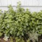 Heirloom Lemon Balm Seeds **Highly Scented** Repels Pests!