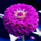 Zinnia Seeds-Giant Violet Queen**SOLD OUT**