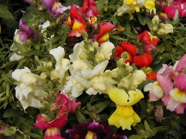 Snapdragon Seeds-Northern Lights! Great Cut Flower!