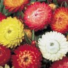 Tall (King)  Strawflower Seeds-Mixed Colors-Dry for Crafts or Cut Flowers