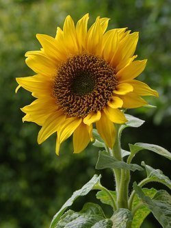 Sunflower Seeds- Russian Mammoth-8-12' Tall & Giant Blooms!
