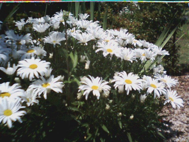Alaskan Shasta Daisy Seeds-Great Cut Flower!