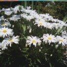 Alaskan Shasta Daisy Seeds-Great Cut Flower!