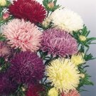 Aster Seeds- Powder Puff Mixed Colors-Cut Flowers! SOLD OUT