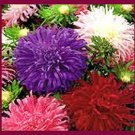 Aster Seeds-Crego Mixed- Beautiful Cut Flower! Long Bloom Season SOLD OUT