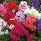 Phlox-Dwarf Beauty Mix Seeds-Perfect for Windoboxes & Containers!
