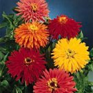 Zinnia **Giant Cactus Flowered Seeds Mix**SOLD OUT