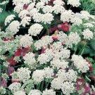 Bishop's Flower/Queen Anne's Lace Flower Seeds