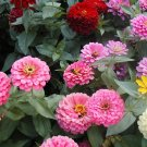 Zinnia Seeds **Giants of California** Excellent Cut Flower!