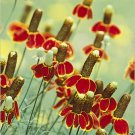 Mexican Hat Seeds**Drought Tolerant**