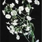 White Heirloom Baby's Breath Seeds**Cut Flower**