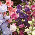 Canterbury Bells Seeds **Cup & Saucer** 4' Tall!!  Long Bloomer!