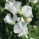 **NEW** Sweet Pea Elegance White Seeds **Fragrant**