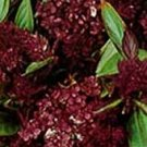 Basil **Licorice** Organic Seeds  *Pungent Aroma & Taste**