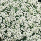 Alyssum Carpet of Snow Seeds Sweetly Scented Containers Borders
