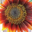 Sunflower Seeds**Red Sun** Birds, Butterflies**SOLD OUT!**