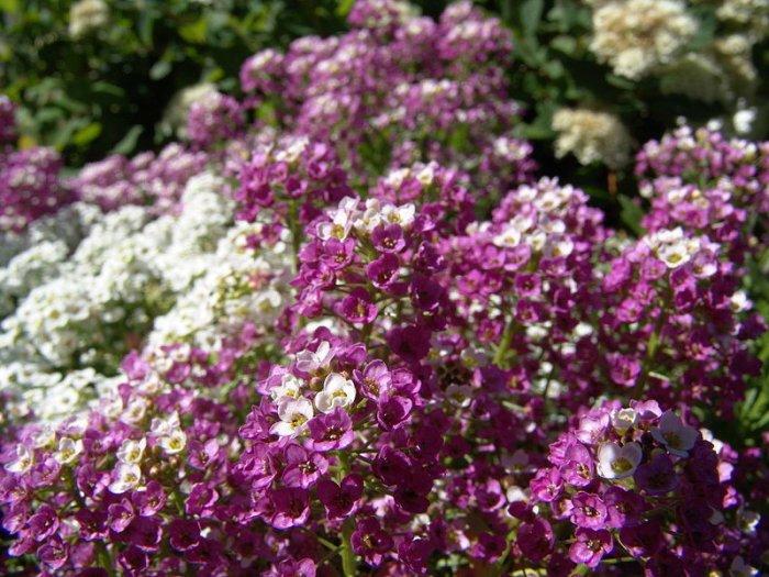 Alyssum,Seeds Royal Purple Carpet **Containers**Rock Gardens**Walkways**