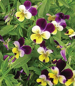 Johnny Jump-Up Viola Tricolor Seeds **Pansy Face**Heirloom Viola**
