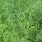 Dill Bouquet Seeds**Organic**Pest Control**