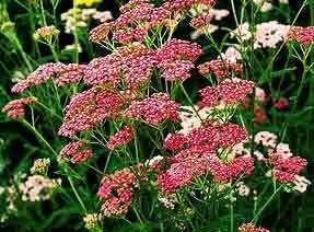 Yarrow  Cerise Seeds**Bees,  Butterflies, Birds**SOLD OUT**