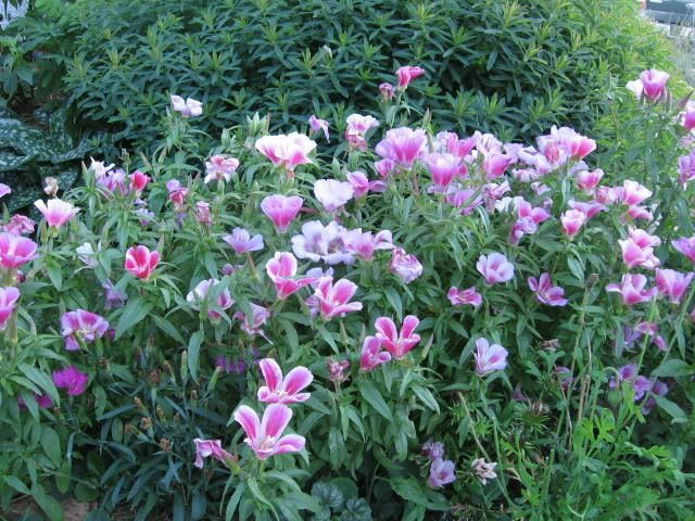 Mountain Garland  Seeds **Flourscent Pink, Red, Rose,Red, Lavender