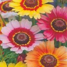Painted Daisy  Seeds **Tri Color**Bees**Birds**Butterflies**