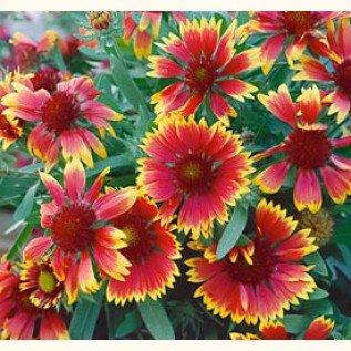 Indian Blanket Seeds **Cut Flower**Loves Sun**Drought Resistant**