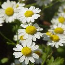 Feverfew Herbal Organic Seeds Medicinal Migraine Relief Insect Repellant