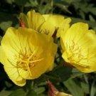 Evening Primrose Seeds **SWEET Fragrance**
