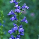 Great Blue Lobelia Seeds Spikes of Bright Blue Flowers Likes Moist Conditions