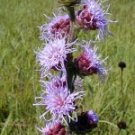 Button Blazing Star Liatris Seeds Purple Dried or Fresh Cut Flower